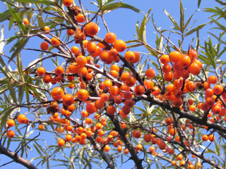 Branches of sea buckthorn with juicy berries also known as Hippophae rhamnoides or Sallow Thorn