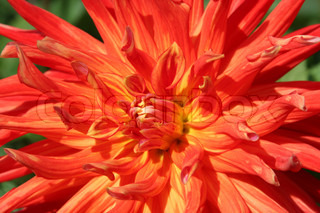 Close-up af multi farvede røde og orange dahlia