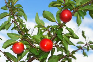Three red plum fruits hanging on a branch on the background of blue sky
