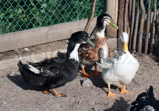 Three geese of different colour on a farm of animals