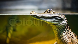 Caiman crocodilus in water