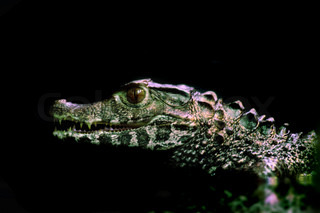 small crocodile isolated on the black background