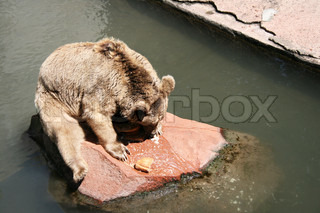 Brown bear sitting on the rock in water, feeding time
