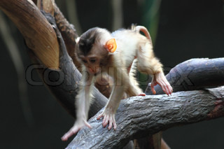 small monkey child is walking on the tree