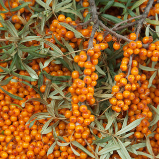 sea-buckthorn with green twig