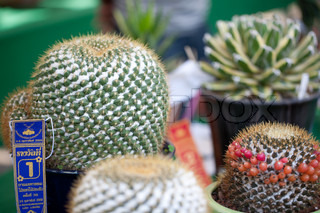 CHIANG MAI, THAILAND - FEBRUARY 4: First place in cactus competition on Chiang Mai 36th Flower Festival on February 4, 2012 in Chiang Mai, Thailand