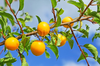 Group of yellow plum fruits hanging on a branch on the background of blue sky