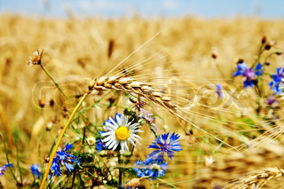 field of wheat with flowers
