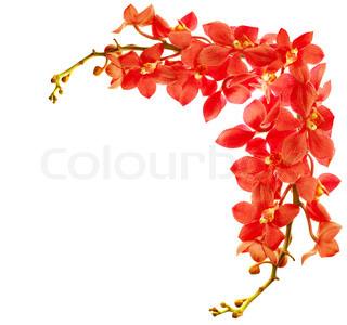 Rød frisk orkidé blomst grænsen isoleret på hvid baggrund