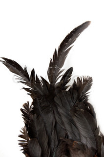 black feathers cock on white background