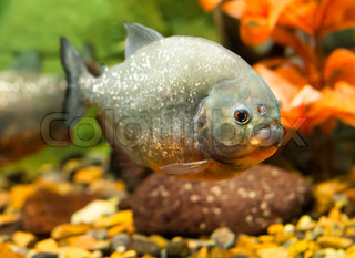 tropical piranha fish in natural environment