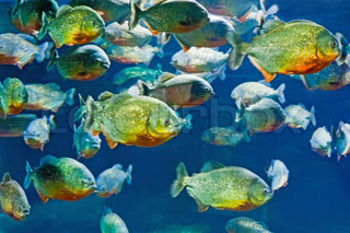 tropical piranha fishes in natural environment