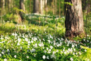 Wonderful spring view in forest covered with white anemones