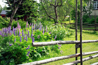 view in a beautiful garden with lupines behind an old scandinavian country style fence