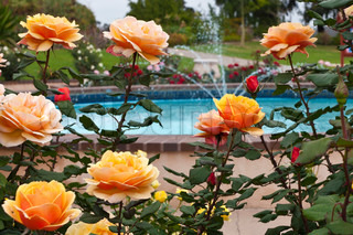 Bush of yellow pink roses in a garden near pool with fountain