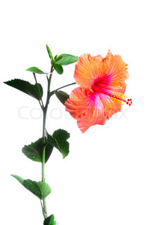 hibiscus blomster