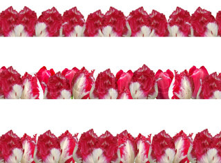 Three different frames with the red-white tulips, isolated on a white background