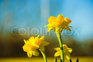 Spring easter flowers daffodil spring background