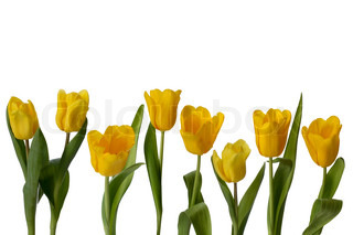 eight yellow tulips in a line isolated on white