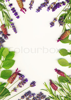 A frame made of healing herbs lavander and rosemary on a white background isolated