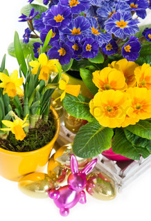 primulas and narcissus in pot on white background