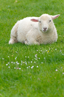 Irish sheep stock photo colourbox for Irish mail cart plans