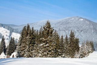 fir-trees at the foot of mountains Carpathians