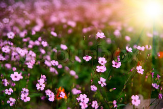 Field of flowers with the sun