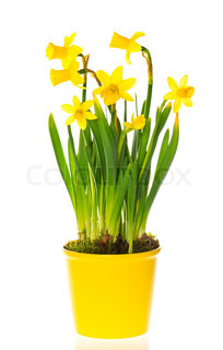spring narcissus flowers in pot on white background