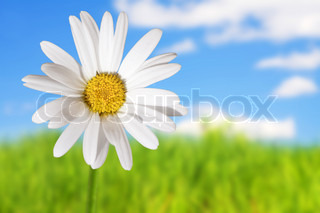 White daisies on blue sky and green grass background