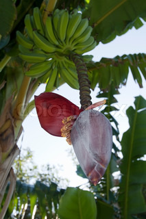 Banana tree blomst