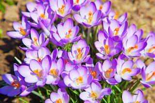 ersten Frühling Blumen: violette Krokusse wachsen nach der Schneeschmelze