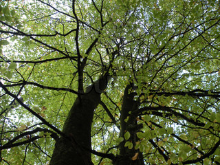 beech trees from ground to top against sky with green leaves