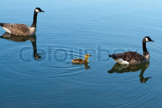 Canadian Geese with baby