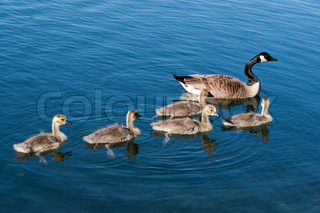 Canadian Geese family