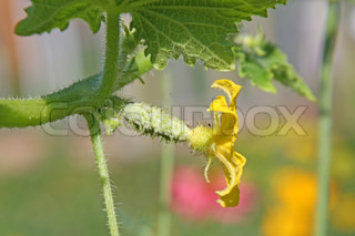 Cucumber flower on the vine