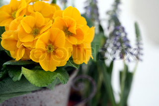 close-up of yellow primula in front of blue hyacinths