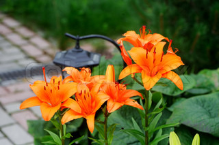 Beautiful orange lily flower, outdoor shot