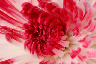 Close-up of pink and white dahlia flower