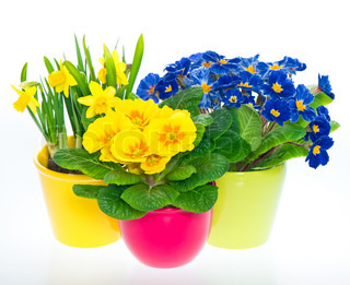 primulas and narcissus in colorful pots
