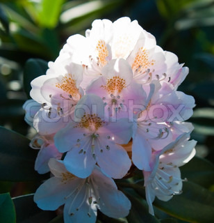 violet rhododendron