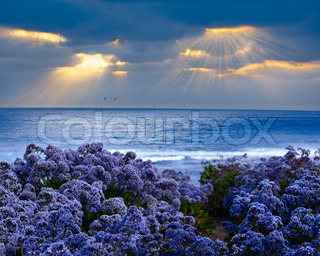 Limonium perezii ~ Lilac Purple Statice Sea Lavender vokser på Stillehavet Bluff ved solnedgang, Gudsstråler beaming Through Stormy Cloud Covered Sky