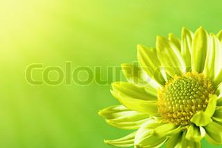 Daisy blomst under solen lys , sommer baggrunde