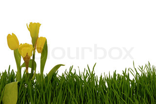 Tulips and daffodils in green grass with a clean white background