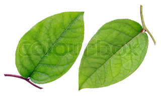 Green leaf, top and bottom