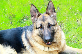 German Shepherd dog breed is on the grass