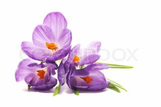 Spring Crocus blomster