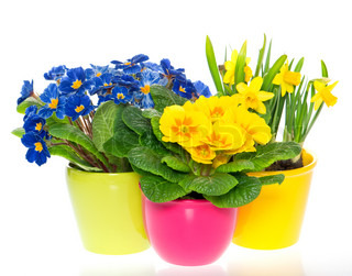 spring flowers in colorful pots on white