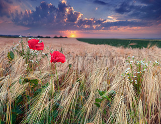 beautiful summer sunset on a wheat field with poppies and daisies