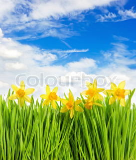 fresh spring narcissus flowers in green grass